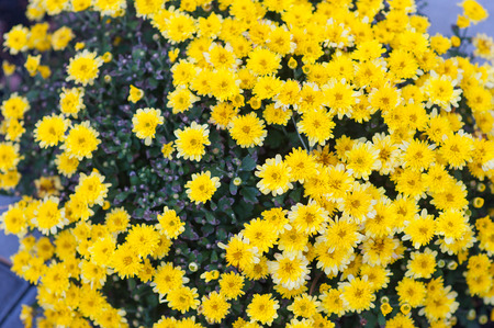 lindi: yellow chrysanthemums in the flowerbed in the park
