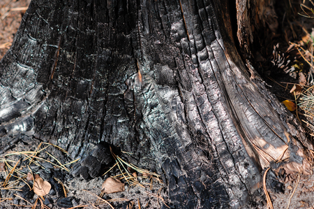 burnt wood: Burnt wood texture in autumn forest