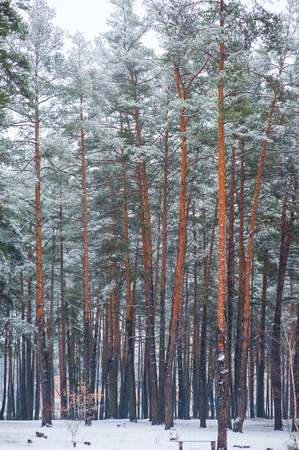 evergreen trees: edge of a pine forest in winter. Stock Photo