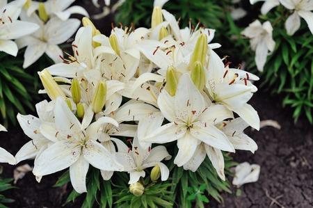 lirio blanco: flores del lirio blanco en un jard�n de primavera
