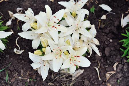 bridging the gap: beautiful White lilies in bloom in spring garden