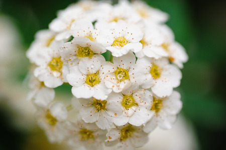 flourished: spring white flowers on the bush in garden. Stock Photo