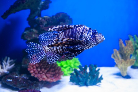 stingfish: fish lionfish in the aquarium on the blue background with Red sea.