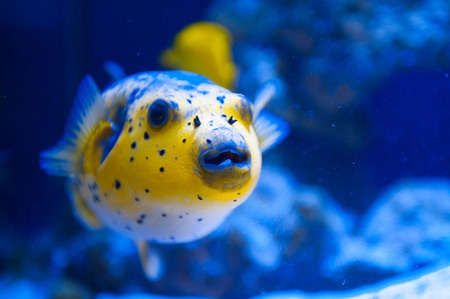 blowfish: Fugue yellow fish predator of the Red Sea.