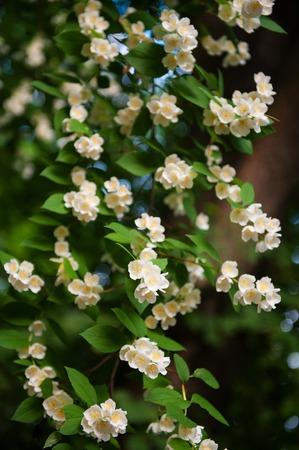 jasmine bush: Jasmine bush in full blossom at summer park.