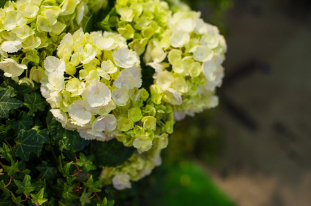 Beautiful white Hydrangea macrophylla in summer garden. Stock Photo
