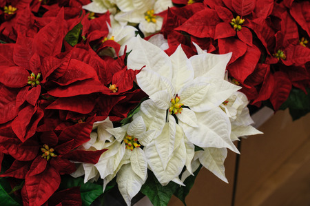 Red and white Flowers Christmas star in decor Archivio Fotografico