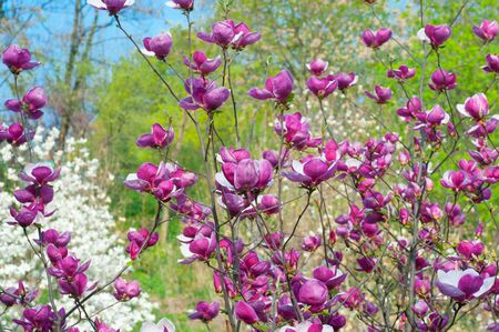 Pink blossoming magnolia trees in the spring garden