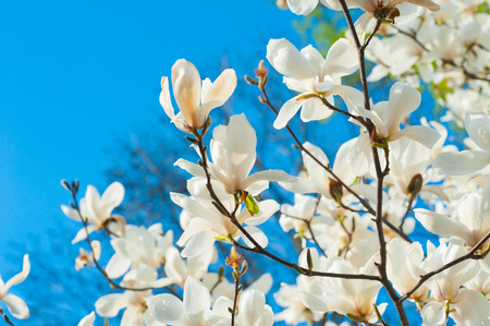 white blossoming magnolia trees in the spring garden