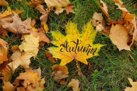 Maple leaf in autumn park
