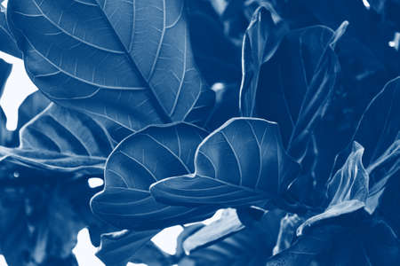 Beautiful tropical leaf texture, blue foliage nature background of green grass and exotic leaves garden