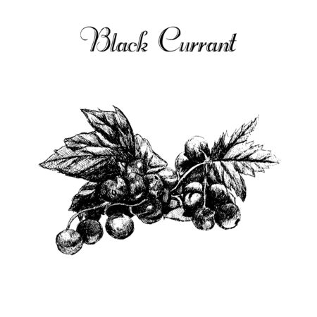 whortleberry: ink hand drawn vintage currant. Vintage fruit illustration isolated on white background. Black currant . Healthy food diet.