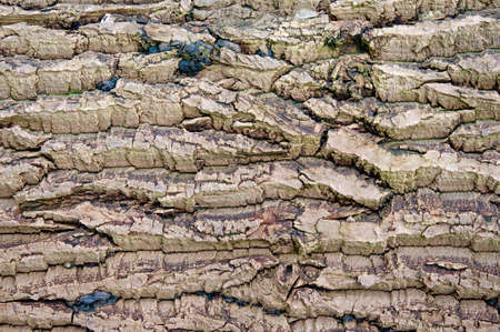 Old dry wooden bark texture. Background for wallpaper