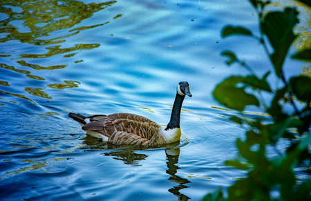 Wild duck on the lake. Summer time.