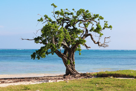 Guardalavaca tree next caribbean sea
