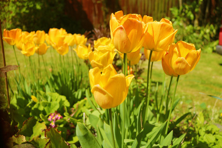 Bunch of yellow tulips in outside garden Stock Photo - 101521194