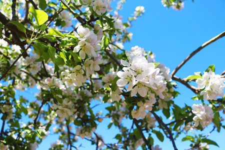 Apple tree blossoming Stock Photo - 101528857