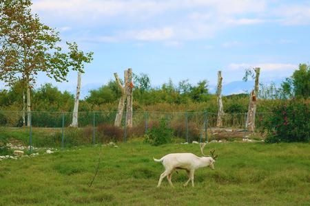 White goat in Greece Corfu