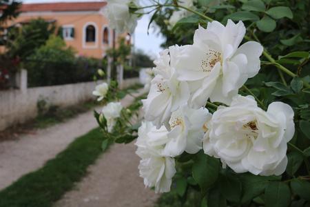 White flowers Corfu Greece