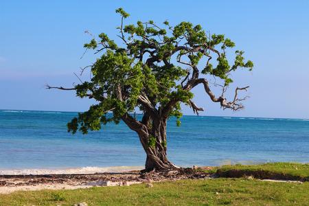 cuba guardalavaca tree on the beach