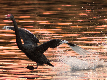Black Swan Landing on a River
