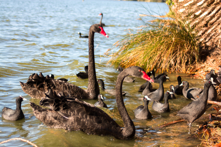 Black swan swimming with swan babies in a river in Perth, Australia.