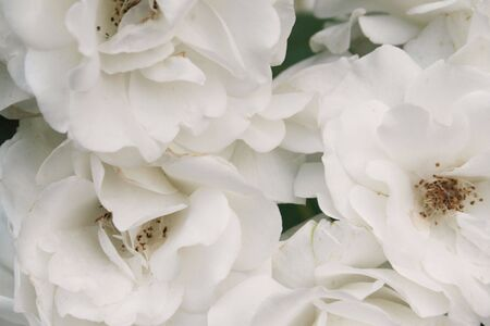 Close-up of white roses in bunch Stock Photo - 3283217