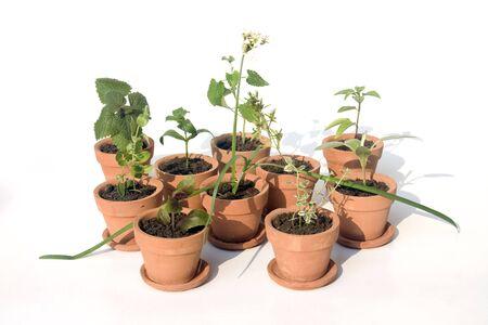 thai basil in small terracotta pots photo