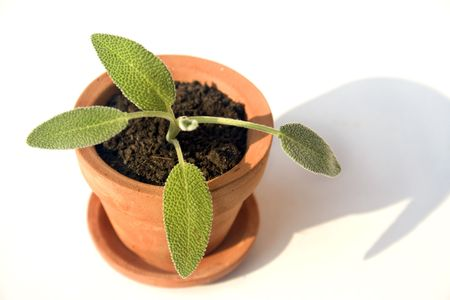 Small clay pot with herb photo