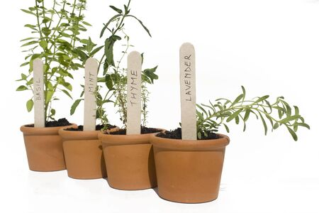 Basil, mint, thyme and lavender potted herbs in line and isolated against white photo