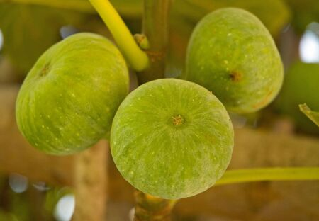 Figs growing on Tree, Morocco Stock Photo