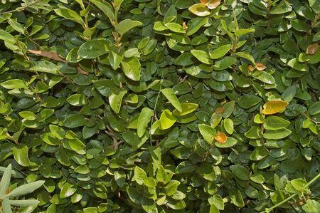 Green leaves from a garden bush in sunlight  Stock Photo