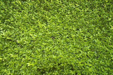 Green leaves from a garden shrub in sunlight