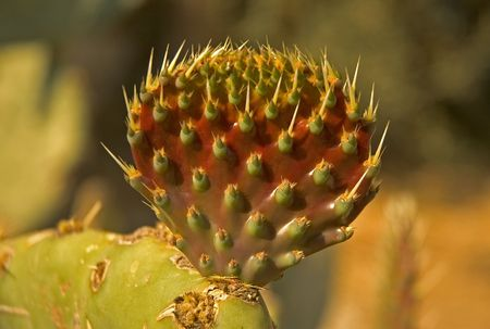 Prickly Pear Cactus showing thorns