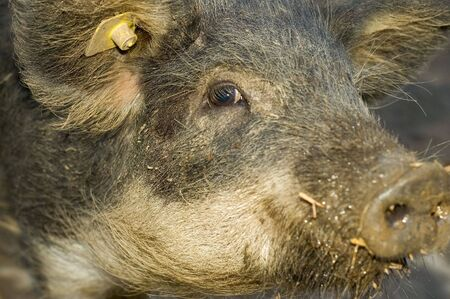 Young hairy boar, or wild pig photo