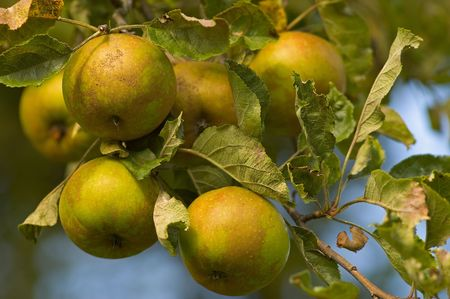 Fresh green Apples growing on tree with leaves Stock Photo