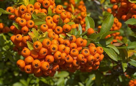 Orange Berries in Autumn/Fall