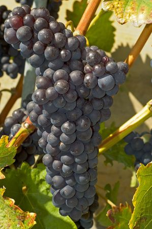 Ripe and juicy red grape bunch on vine photo