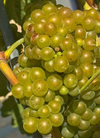 Ripe and juicy white grape bunch on vine Stock Photo