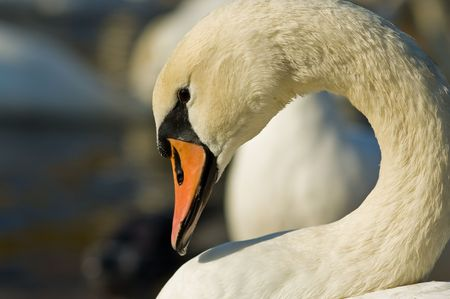 The neck and head of a elegant swan