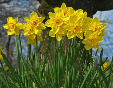 Yellow Spring Daffodil (Narcissus) flowers