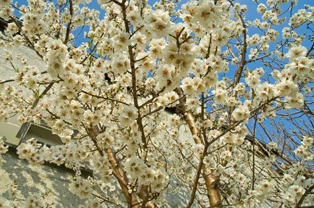 White Cherry tree blossom in the spring