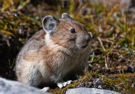 Cute furry Pika Photographed wild in the Canadian Rockies