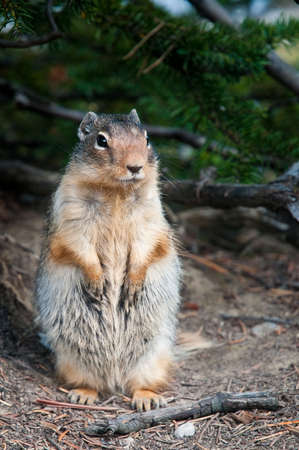 Canadian Ground Squirrel standing to attention photo