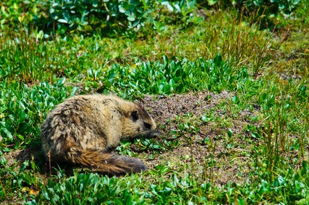 Hoary mountain Marmot from Canadian Rockies eating plants photo