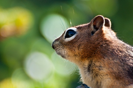 Close up of a Golden Mantled Ground Squirrel from the rocky mountains photo