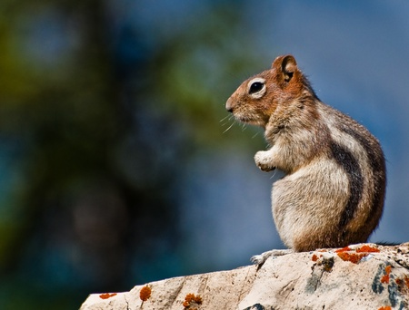 sitting on the ground: Golden Mantled Ground Squirrel sitting on a rock Stock Photo