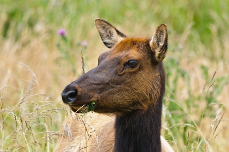 Young Female Elk eating leaves and flowers, Redwood natioanl Park, California Stock Photo