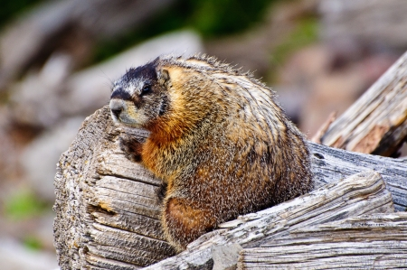 Furry Marmot sitting on a Wooden log, yellowstone national park, Wyoming.