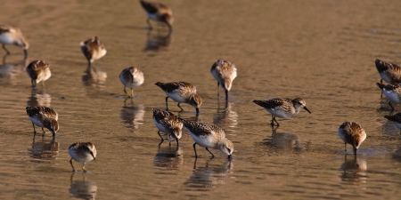 Wild Dunlin feeding at an Oregon beach Stock Photo - 17972277